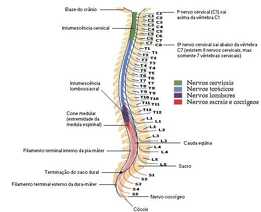 Fabuloso Coluna vertebral e medula LL07